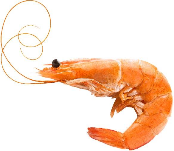 Shrimp with no color inclusion
